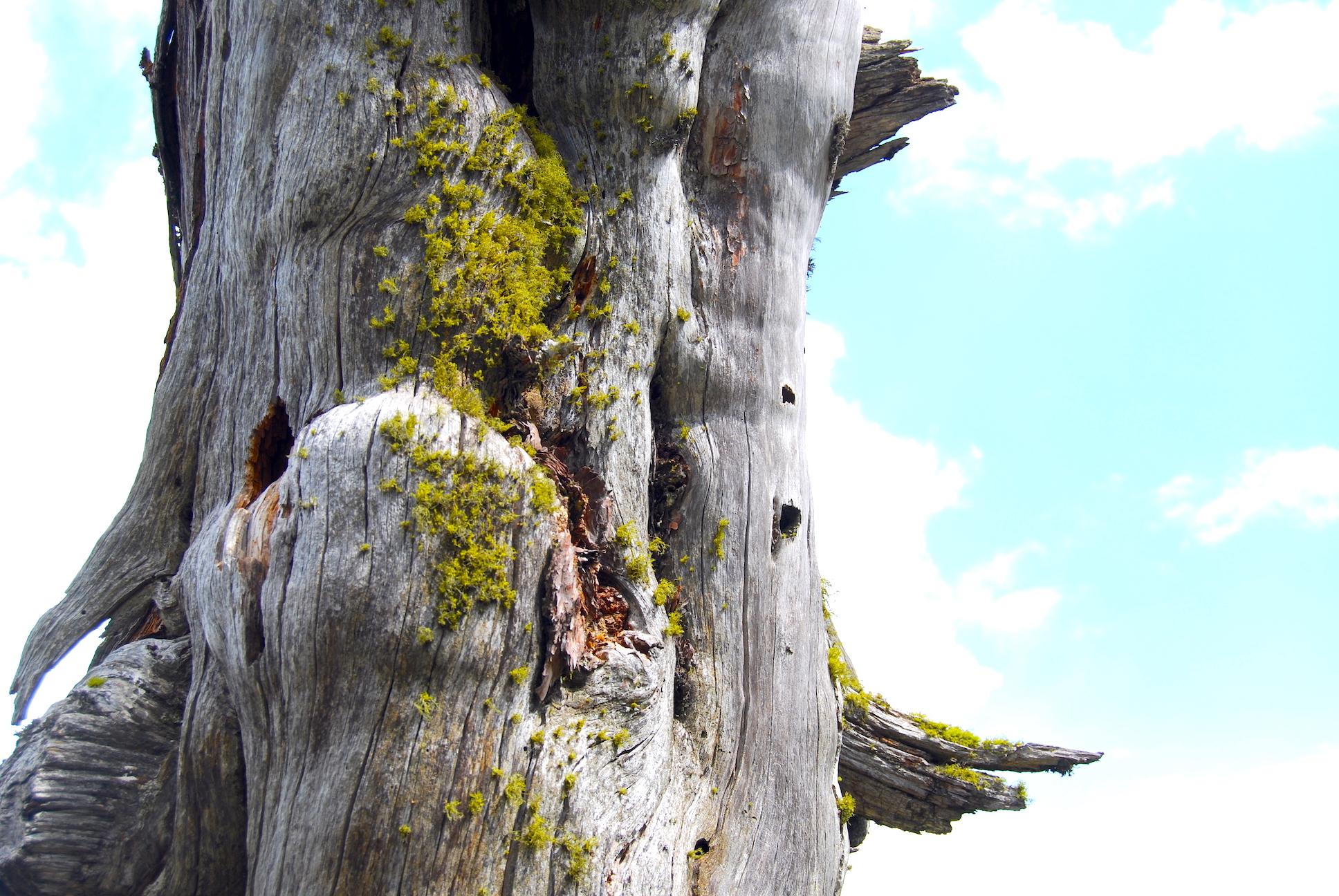 Letharia vulpina en la Sierra de Guadarrama
