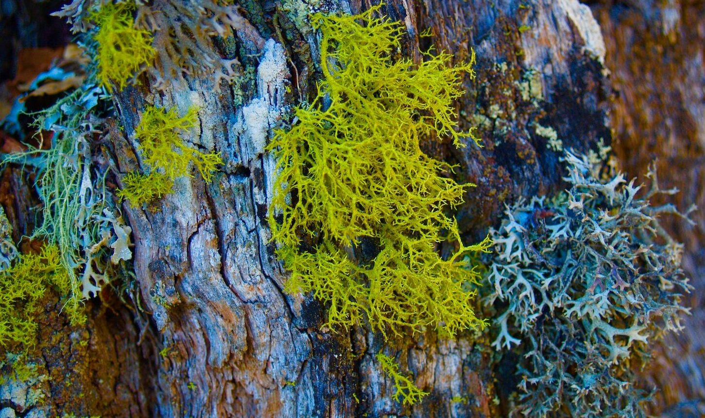 Fascinante Naturaleza Post Nº 4: Liquen de Los Lobos.