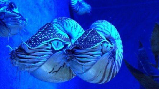 Fascinante Naturaleza Post Nº 12: Nautilus.