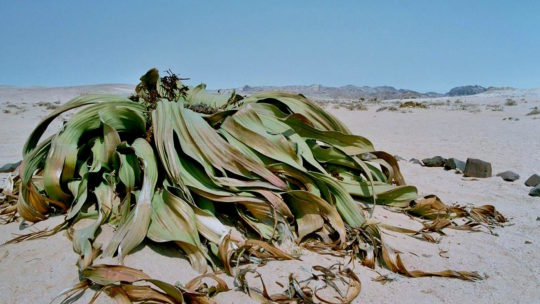 Fascinante Naturaleza Post Nº 11: La extraterrestre Welwitschia.