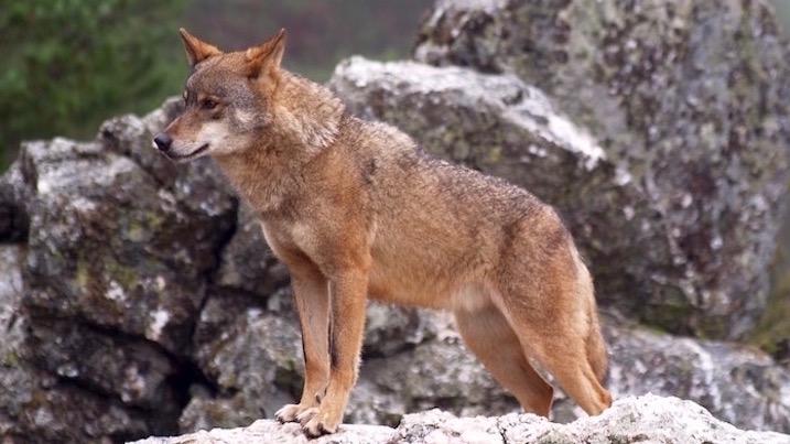 Día histórico para la protección legal del Lobo Ibérico.